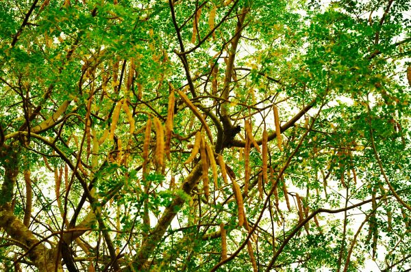 Moringa oliveira boom en zaden