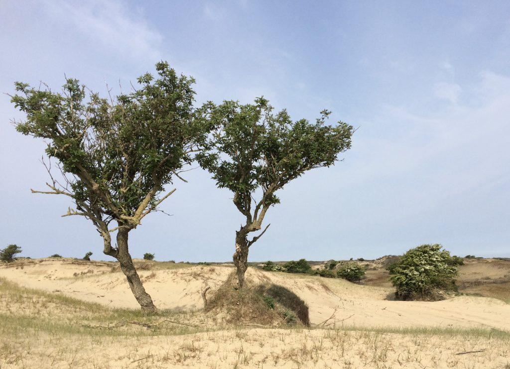 Twee bomen in het duin